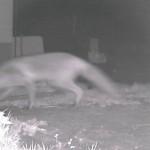 Fuchs Infrarot